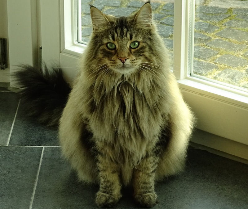 The Majestic Norwegian Forest Cat The Purrington Post