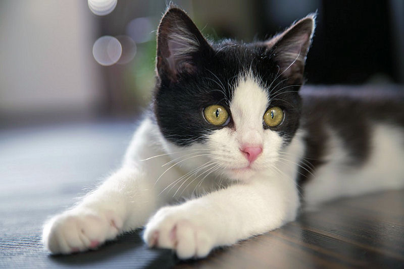 9 Reasons Tuxedo Cats Rock! - The Purrington Post da35bd300