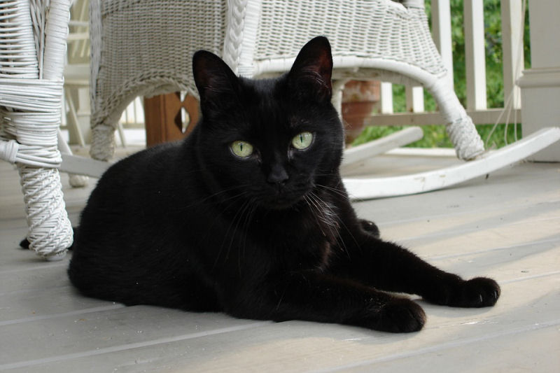 In Praise Of Black Cats The Purrington Post