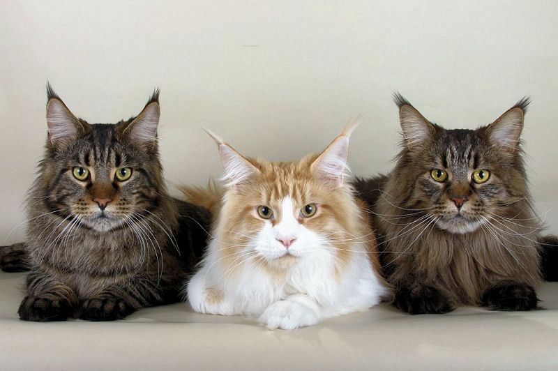 the maine coon cat   born of legend myth amp folklore   the