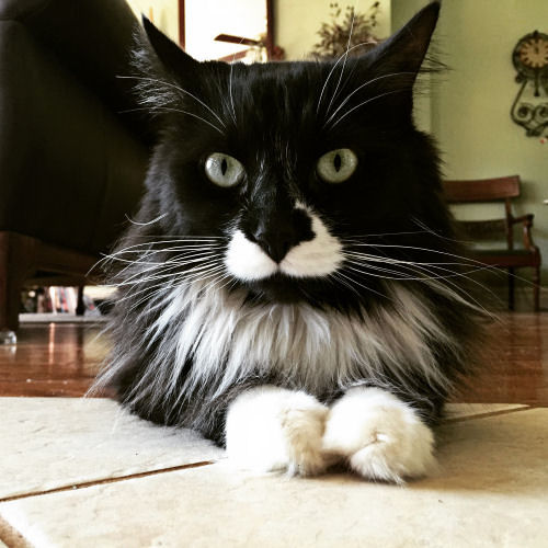 A Tribute To Tuxies And Their Tuxitude The Purrington Post