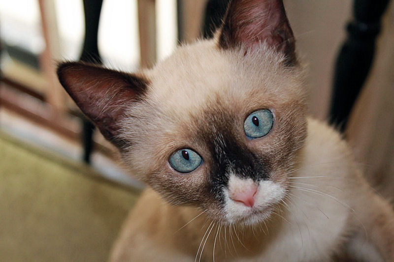 Top 10 Names For Siamese Cats The Purrington Post