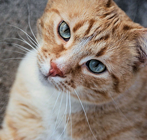 9 Fun Facts About Orange Tabby Cats The Purrington Post