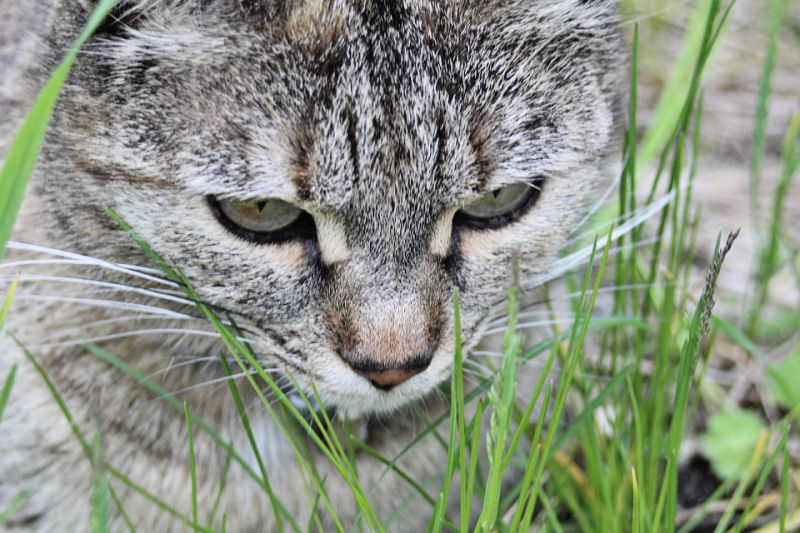 why cats need to eat grass