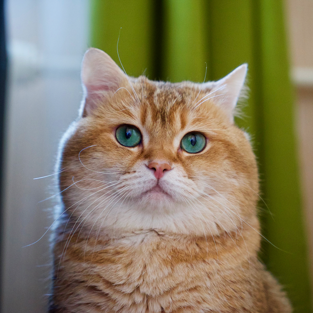 A Handsome Heartthrob Named Hosico The Purrington Post